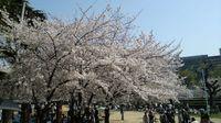 20110411_Osaka_Sakura03.jpg